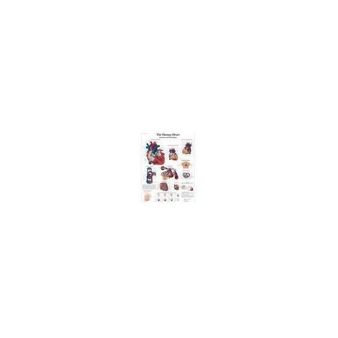 3B Scientific The Human Heart Chart (4006679) - Each