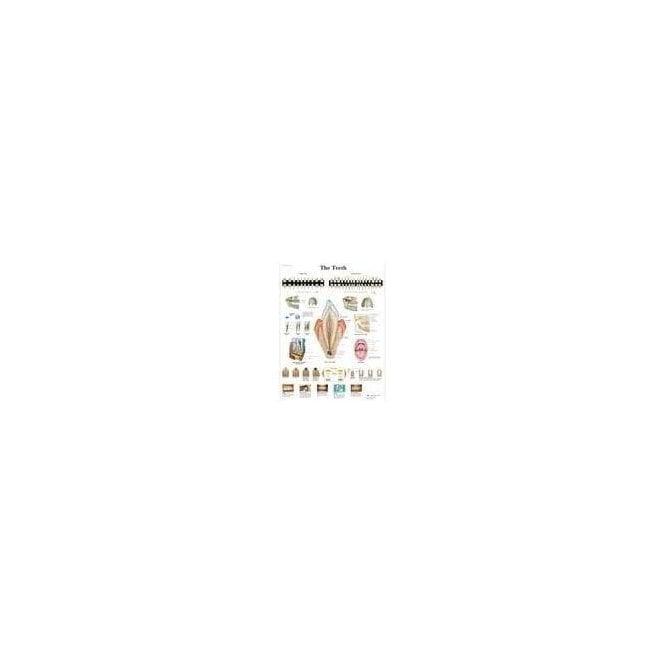 3B Scientific The Teeth Chart (4006672) - Each